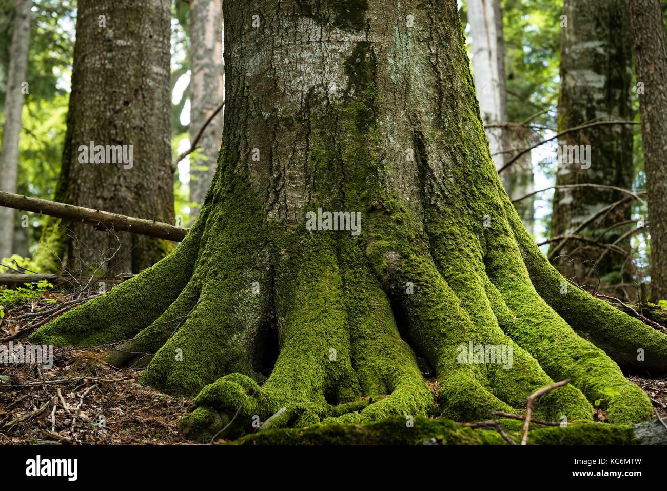 Fagaras Natura 2000-Gebiet, Rumänien: UNESCO-Weltkulturerbe geschützter Primärwald von Sinca - einer der letzten Stockfoto