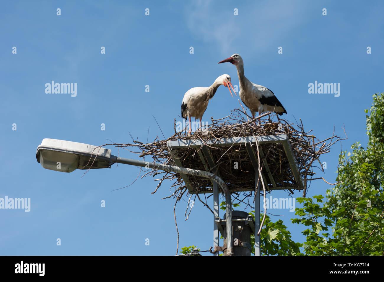 Ein paar Störche in ihrem Nest hoch oben auf der Straßenlaterne Stockfoto