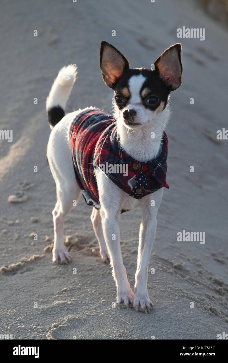 Der Chihuahua Emma e auf einer kleinen Düne im Sand und aufgeregt blickt in die Kamera, den Snoopy Chihuahua Stockbild