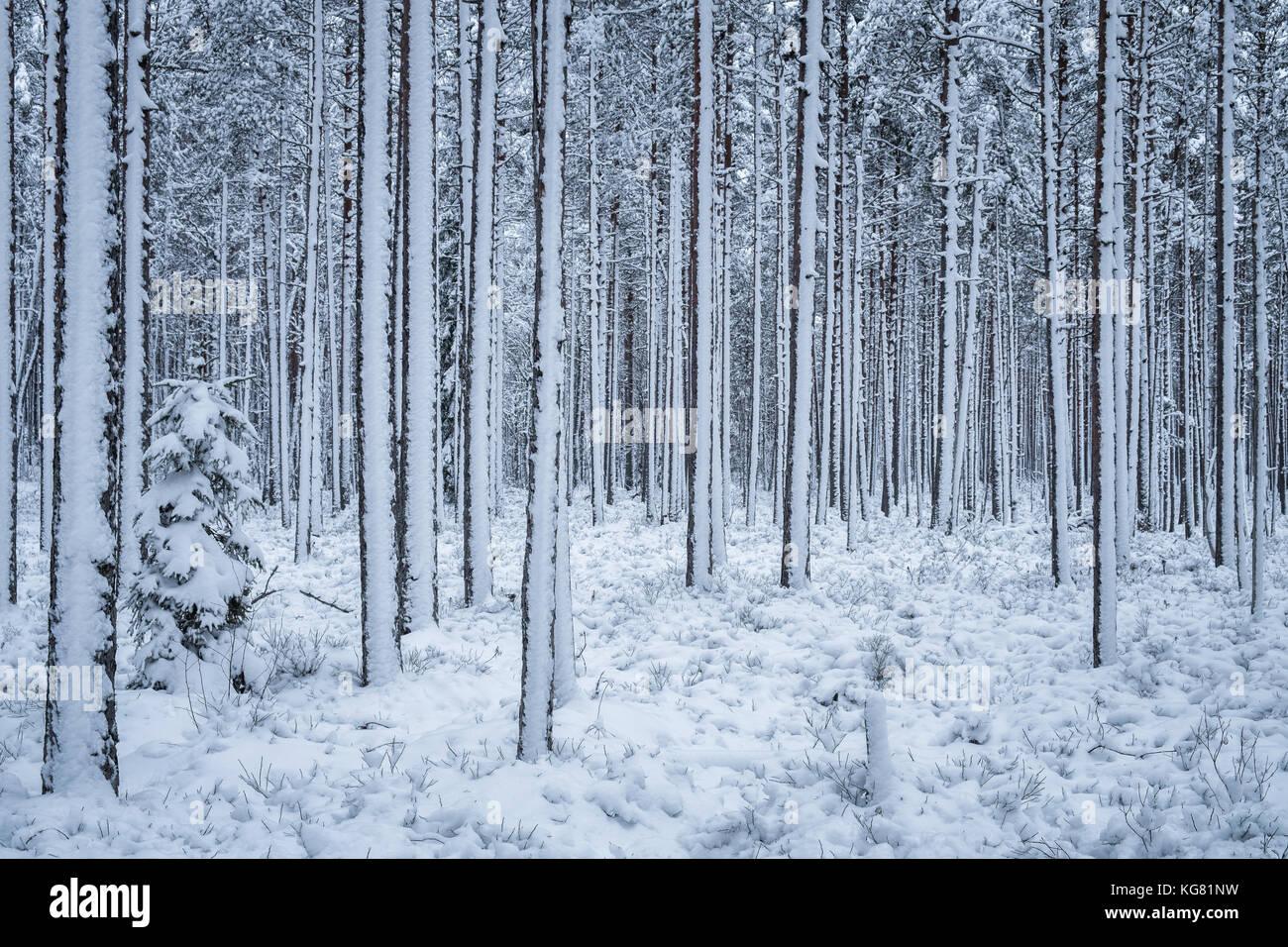 Der erste Schnee schneit im Winter abends im Wald Finnland Stockbild