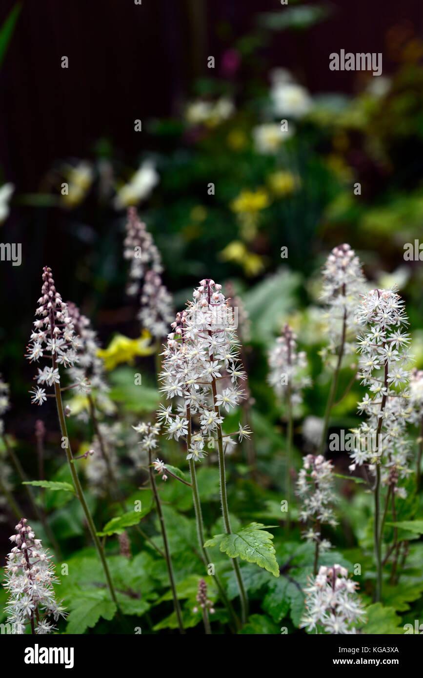 Tiarella Spring Symphony Bluhende Bodendecker Schatten Garten