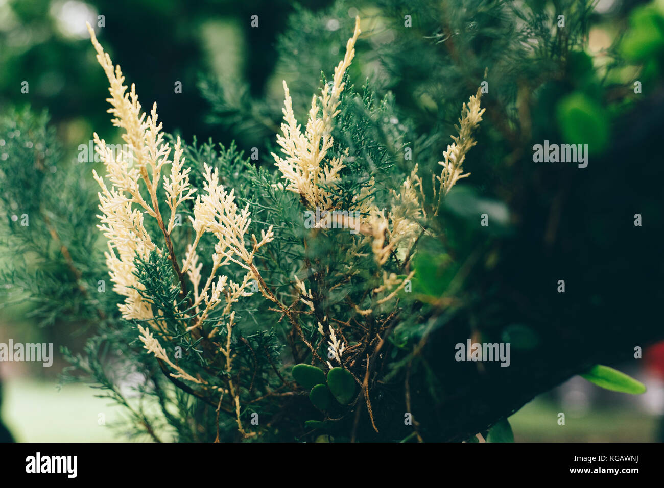 conifer roots stockfotos conifer roots bilder alamy. Black Bedroom Furniture Sets. Home Design Ideas