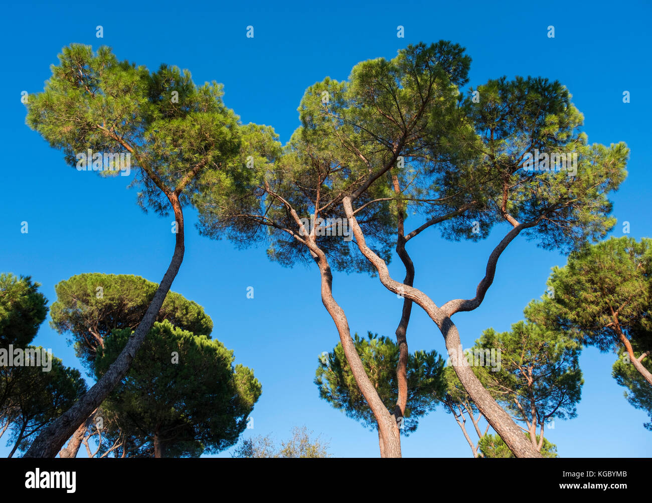 villa borghese pine trees stockfotos villa borghese pine trees bilder alamy. Black Bedroom Furniture Sets. Home Design Ideas