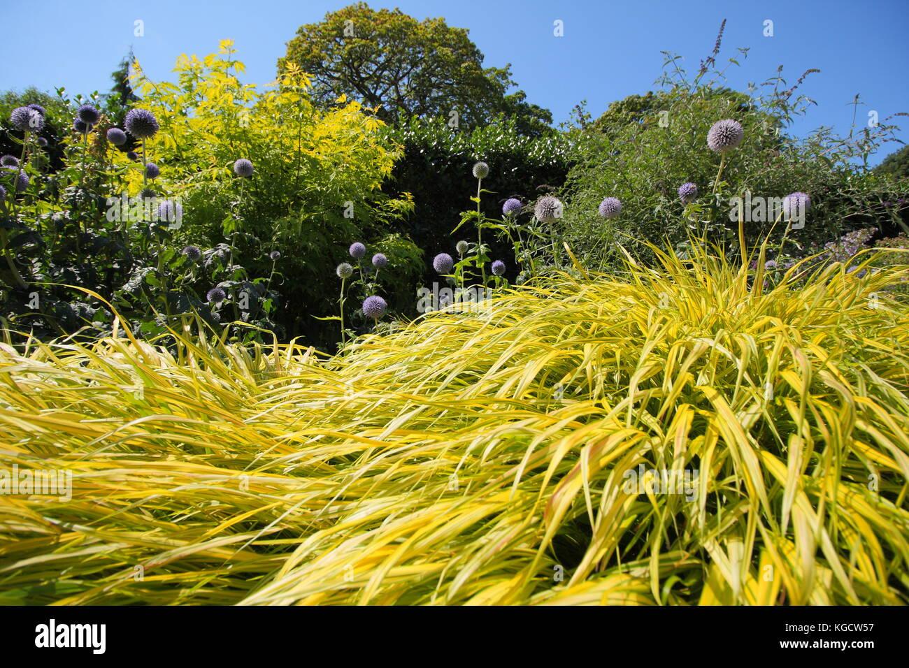 Golden grass (hakonechloa macra 'Aureola Hakonechloa') und 'Echinops bannaticus Taplow Blau 'Globus Stockbild