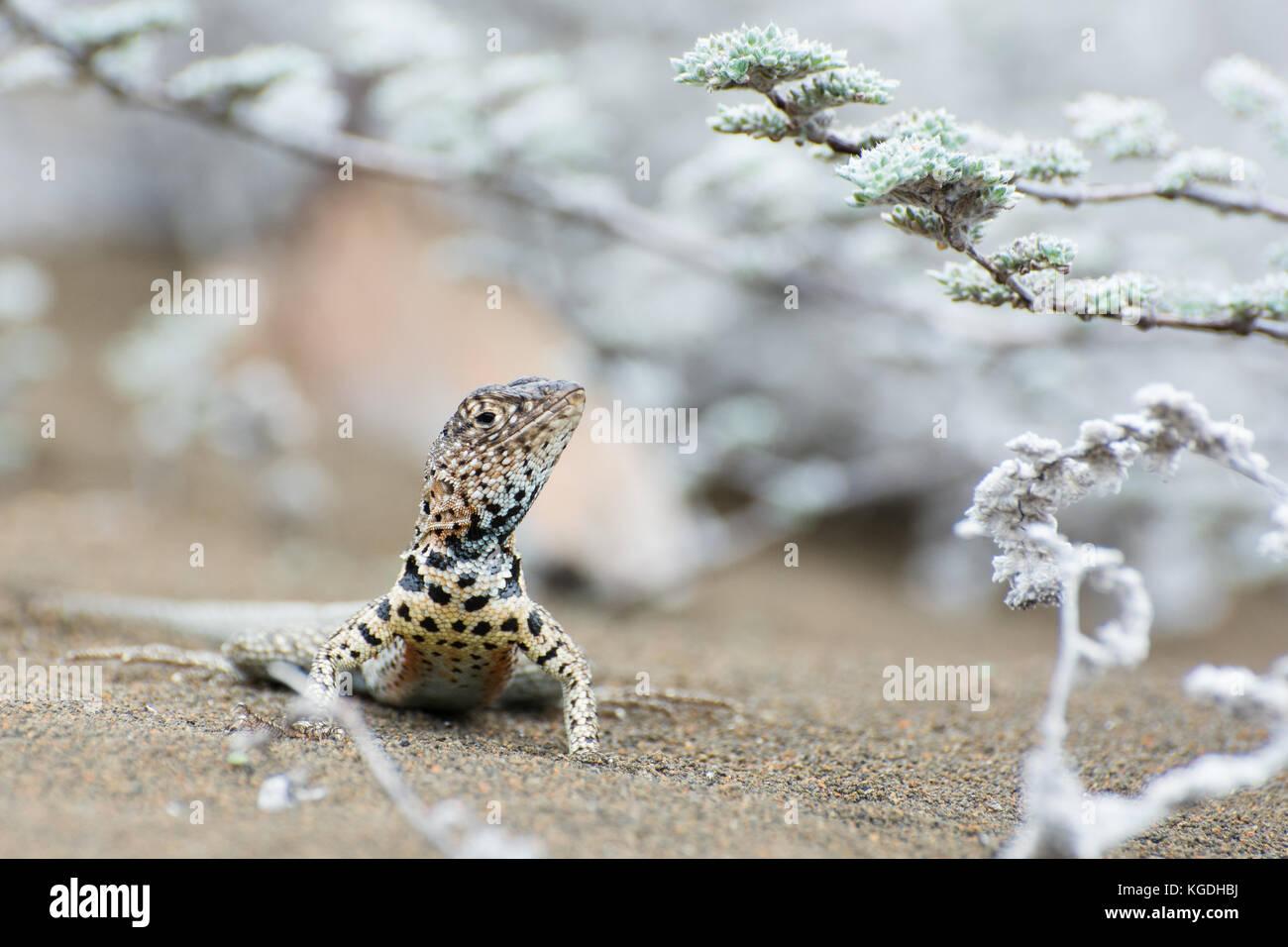 Ein lavastrom Eidechse sucht Schatten unter den tiquilia Pflanze, sowohl die Echse und die Anlage sind nur auf den Stockbild