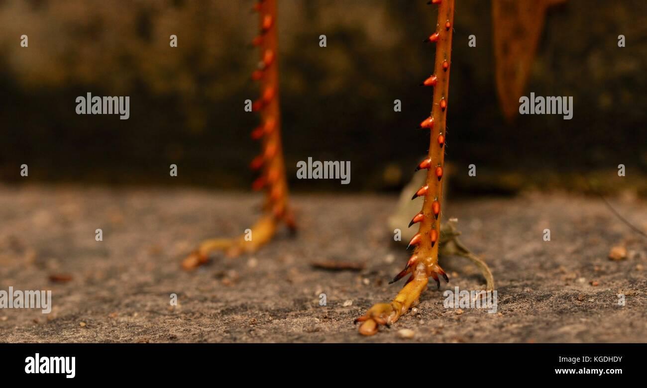 Riesige Grasshopper (valanga irregularis), Ross River, Townsville, QLD, Australien Stockfoto