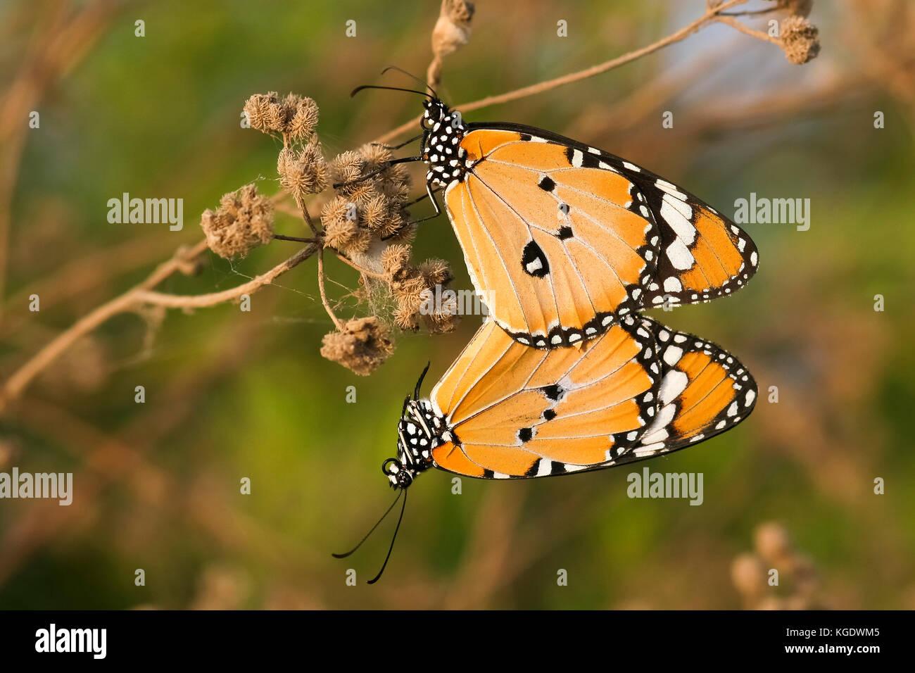 Plain Tiger (danaus chrysippus) aka afrikanischer monarch butterfly Schuß in Israel, Sommer August Stockbild