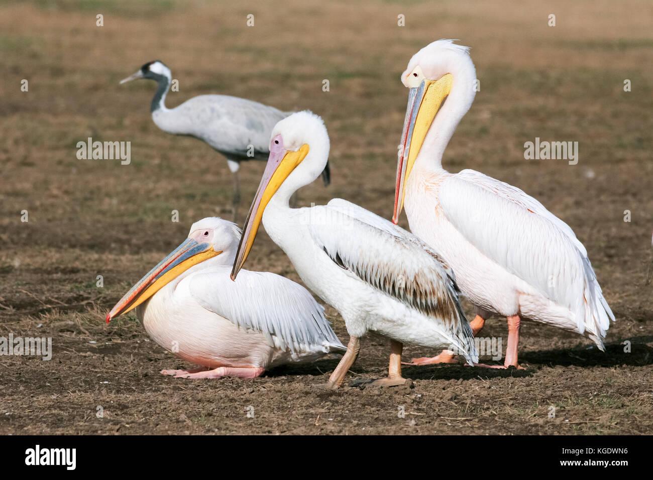 Drei Pelikane (pelecanus onocrotalus) in einer Reihe mit einem Grauen Kraniche (Grus Grus) im Hintergrund fotografiert Stockbild