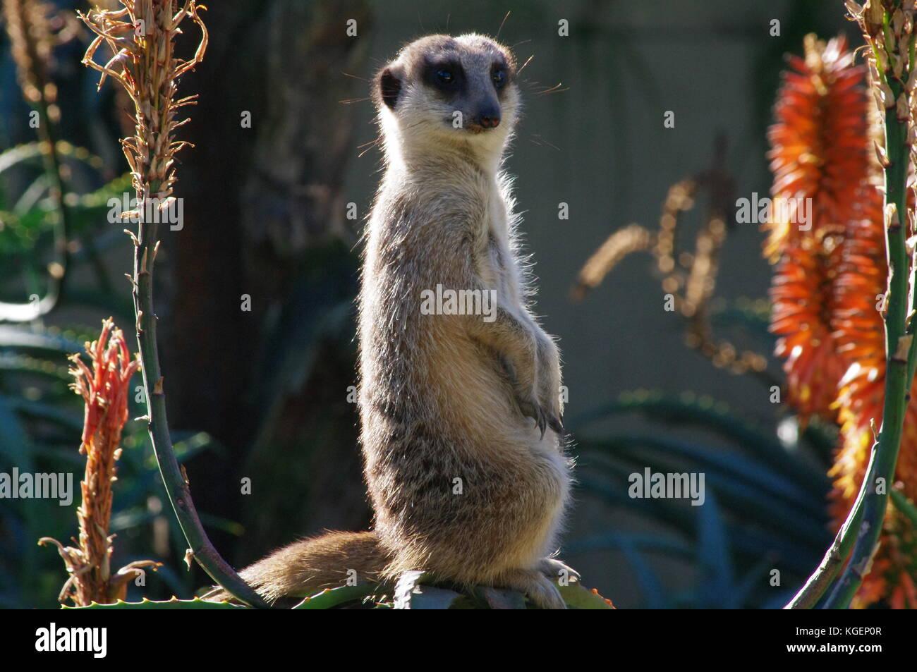 Erdmännchen closeup Stockbild