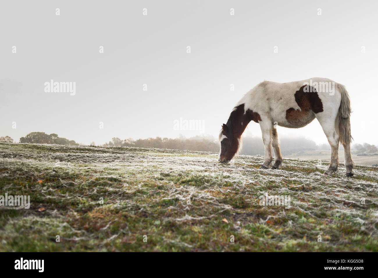 Eine einzelne braune und weiße Pferde grasen in den frühen Morgen an einem nebligen Tag Tau Spinnweben Stockbild