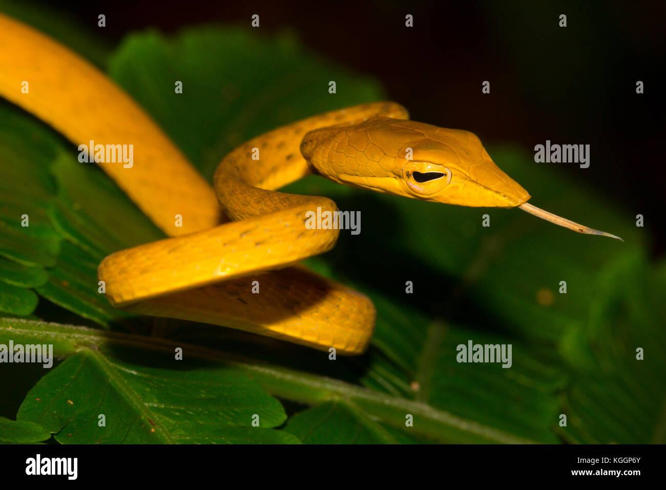 Ahaetulla prasina (Oriental whipsnake, asiatische Weinstock Schlange, Jade Vine Schlange) ist schlank, slighttly giftige Schlange leben auf Bäumen. np Gunung Mulu, Borneo. Stockfoto