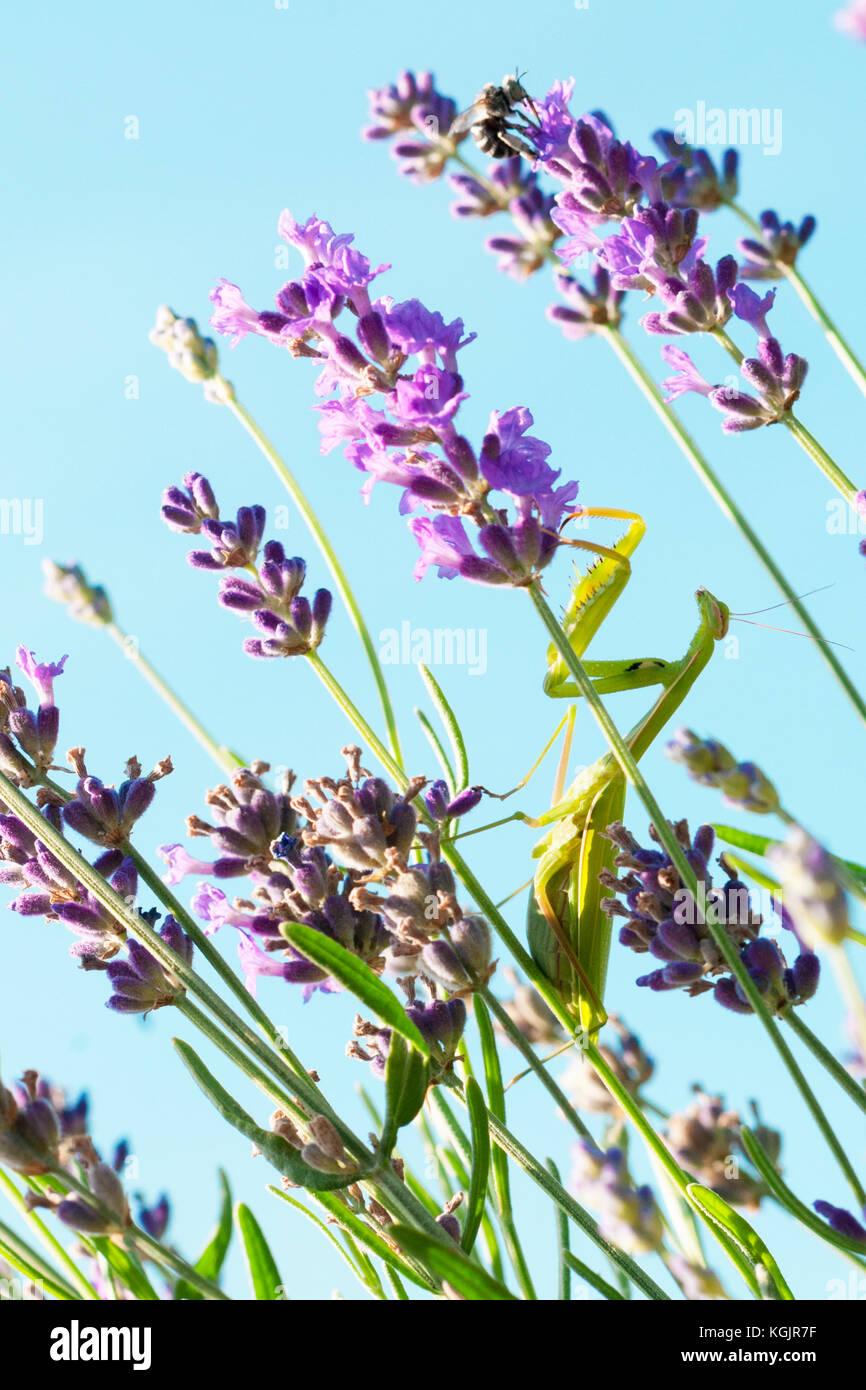 Eine grüne Gottesanbeterin, die Blüten von Lavendel Stockbild