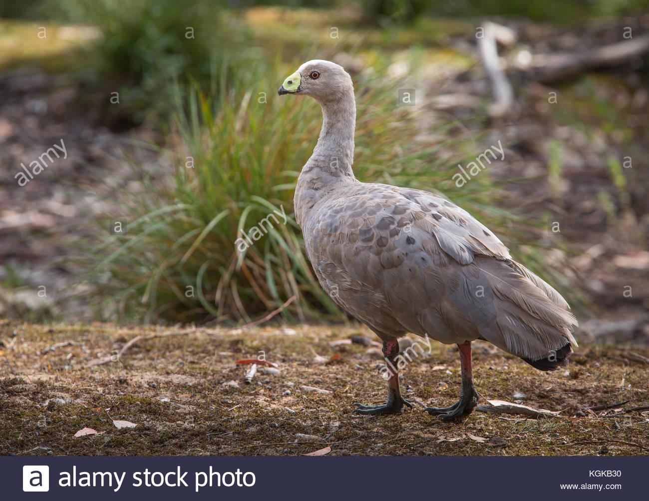 Porträt einer Cape Barren Goose, Cereopsis novaehollandiae. Stockbild