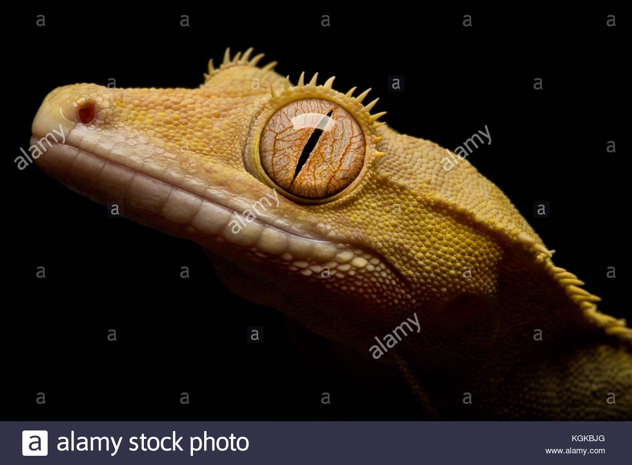 Nahaufnahme, Porträt einer Crested Gecko, ciliatus Correlophus. Stockbild