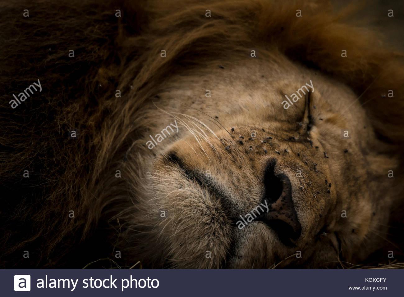 Porträt eines Sleepy Lion, Panthera leo, Masai Mara National Reserve. Stockbild