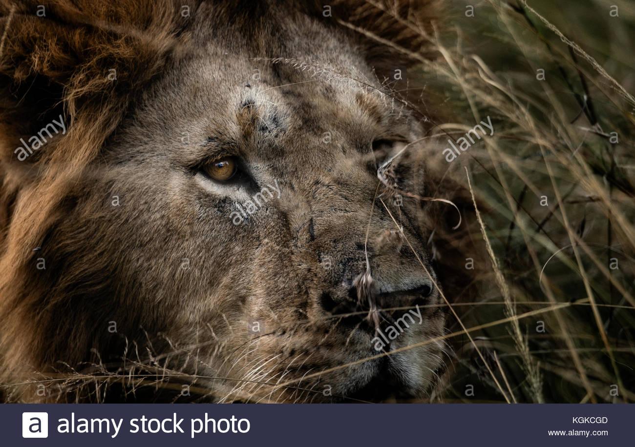 Porträt eines männlichen Löwen, Panthera leo, im hohen Gras. Stockbild
