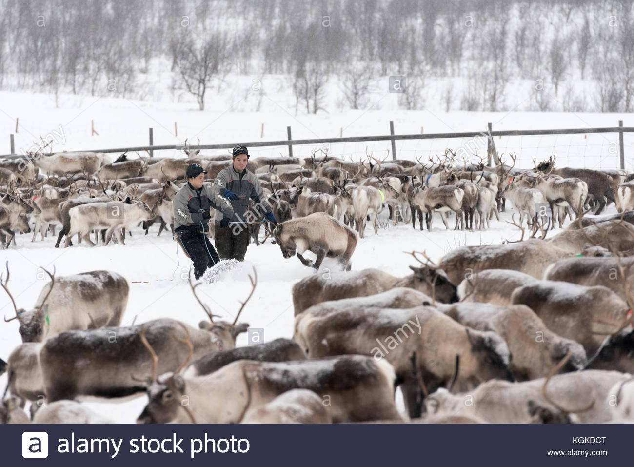 Sami rentier Hirten mark Kälber im Winter. Stockfoto