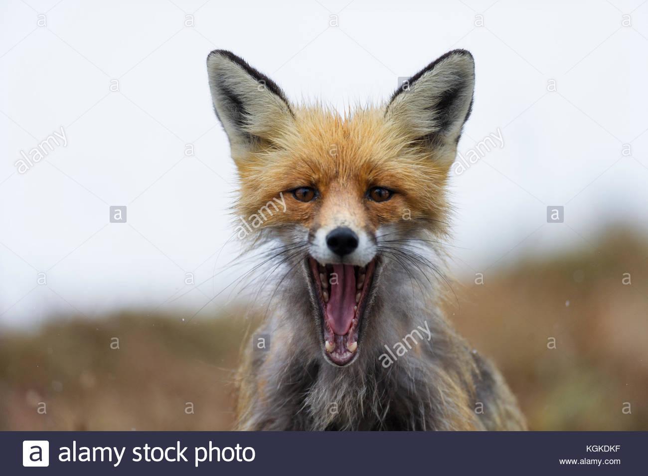 Porträt eines Red Fox, Vulpes vulpes, mit offenem Mund. Stockbild