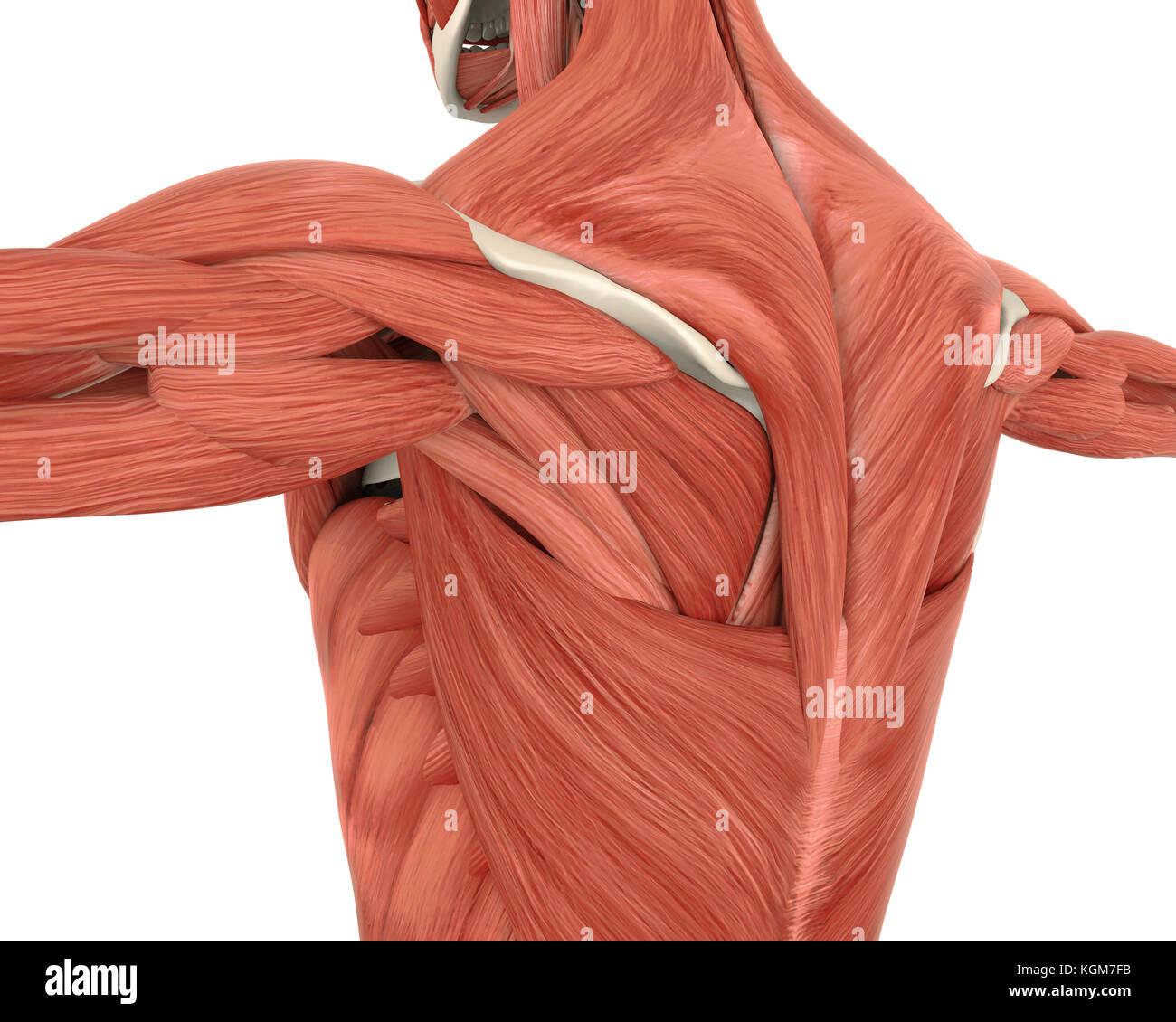 Rückenmuskulatur Anatomie Stockfoto, Bild: 165172767 - Alamy