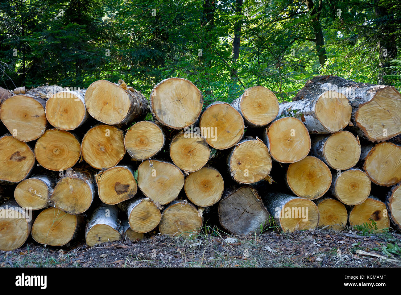 forest trees been cut stockfotos forest trees been cut bilder alamy. Black Bedroom Furniture Sets. Home Design Ideas