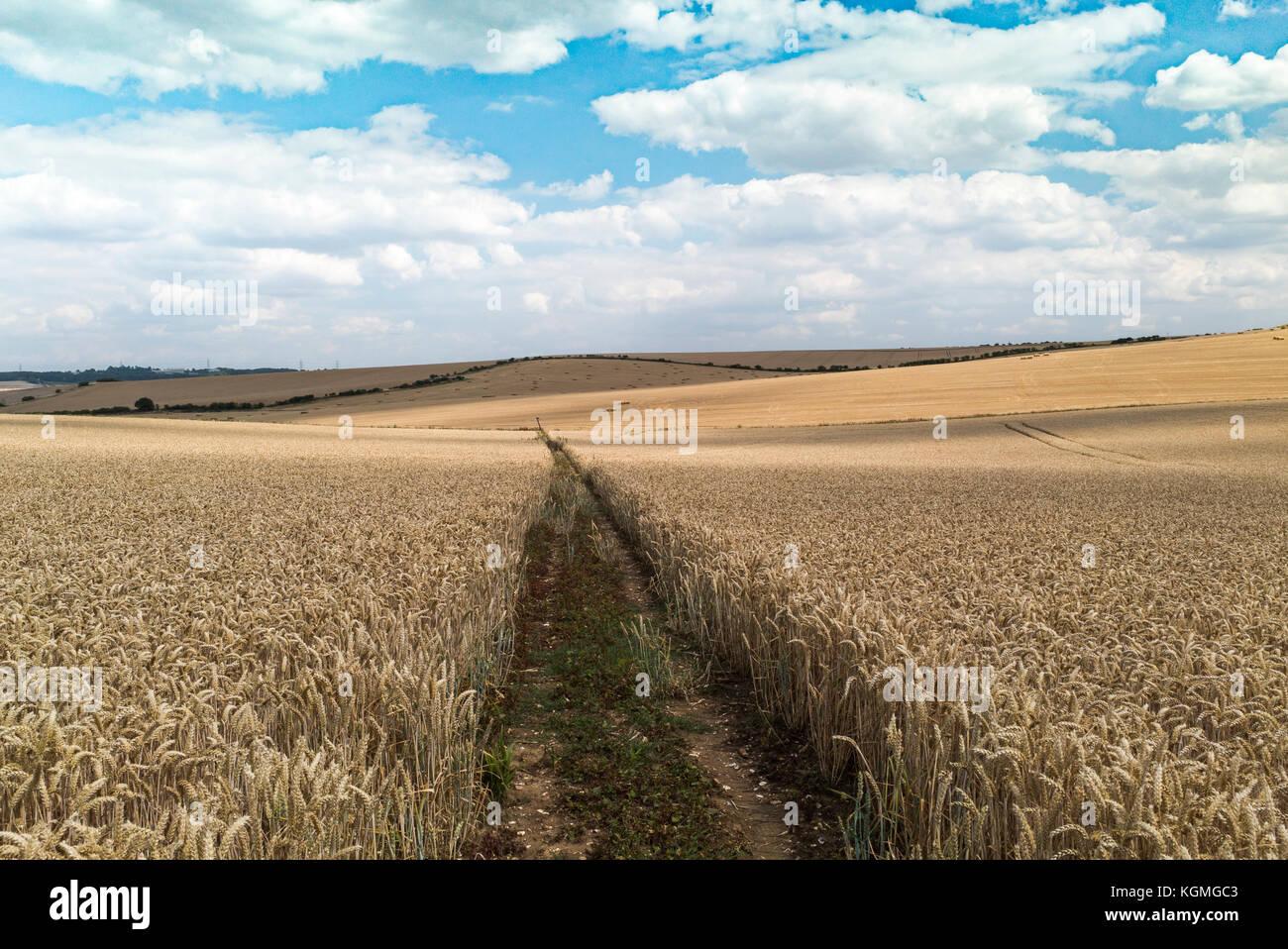 Ein öffentlicher Weg durch ein Feld von reifenden Weizen in Cambridgeshire, gepflanzt wurde das Recht der Passage Stockbild