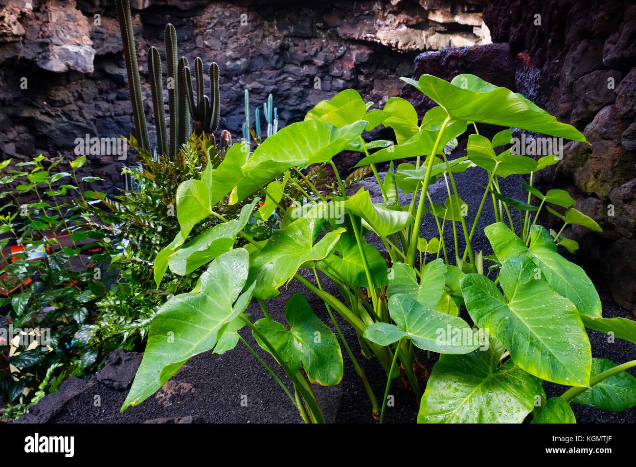 Jameos del Agua. Kunst, Kultur und Tourismus Center erstellt von César Manrique. haria Lanzarote Insel. Kanarische Stockfoto