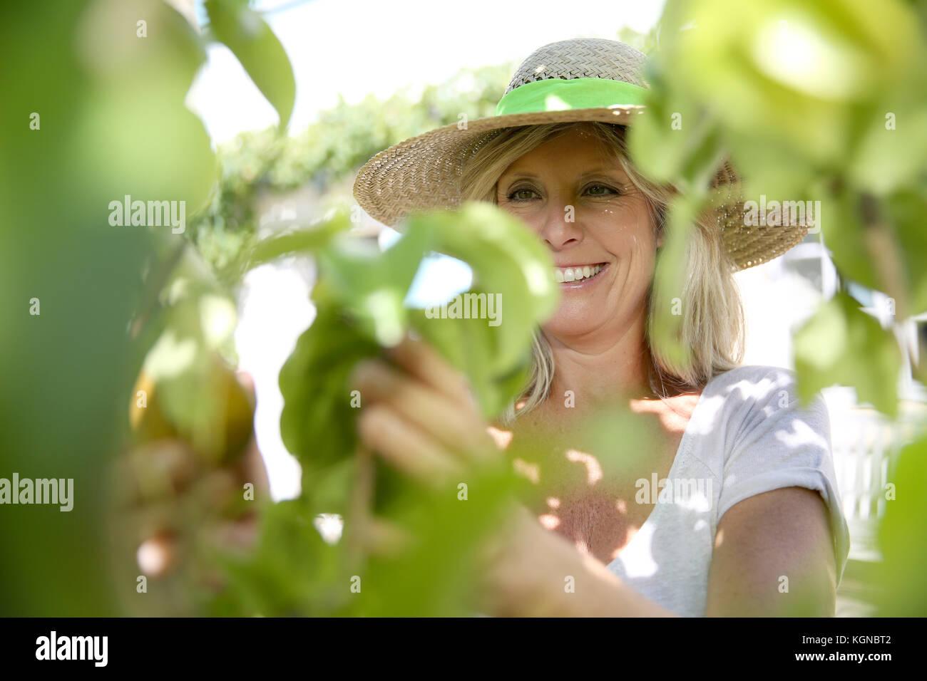 Lächelnde blonde Frau Früchte vom Baum pflücken Stockbild