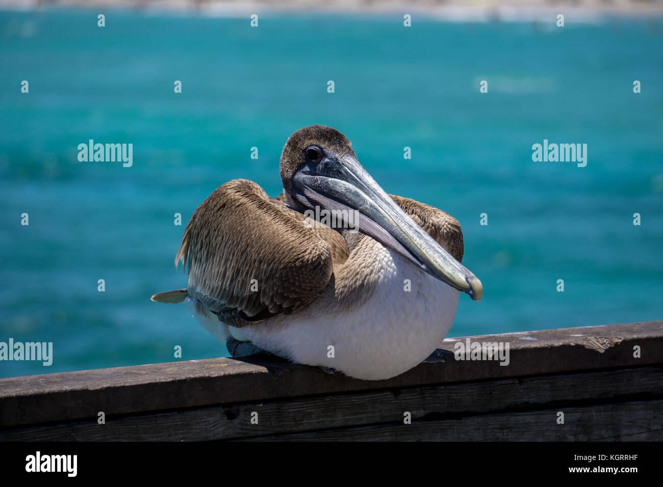 Pelikan In Dania Beach Fishing Pier Florida Stockfoto Bild