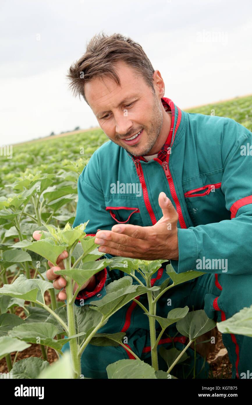 Bauer auf Sonnenblumen Pflanzen suchen Stockbild