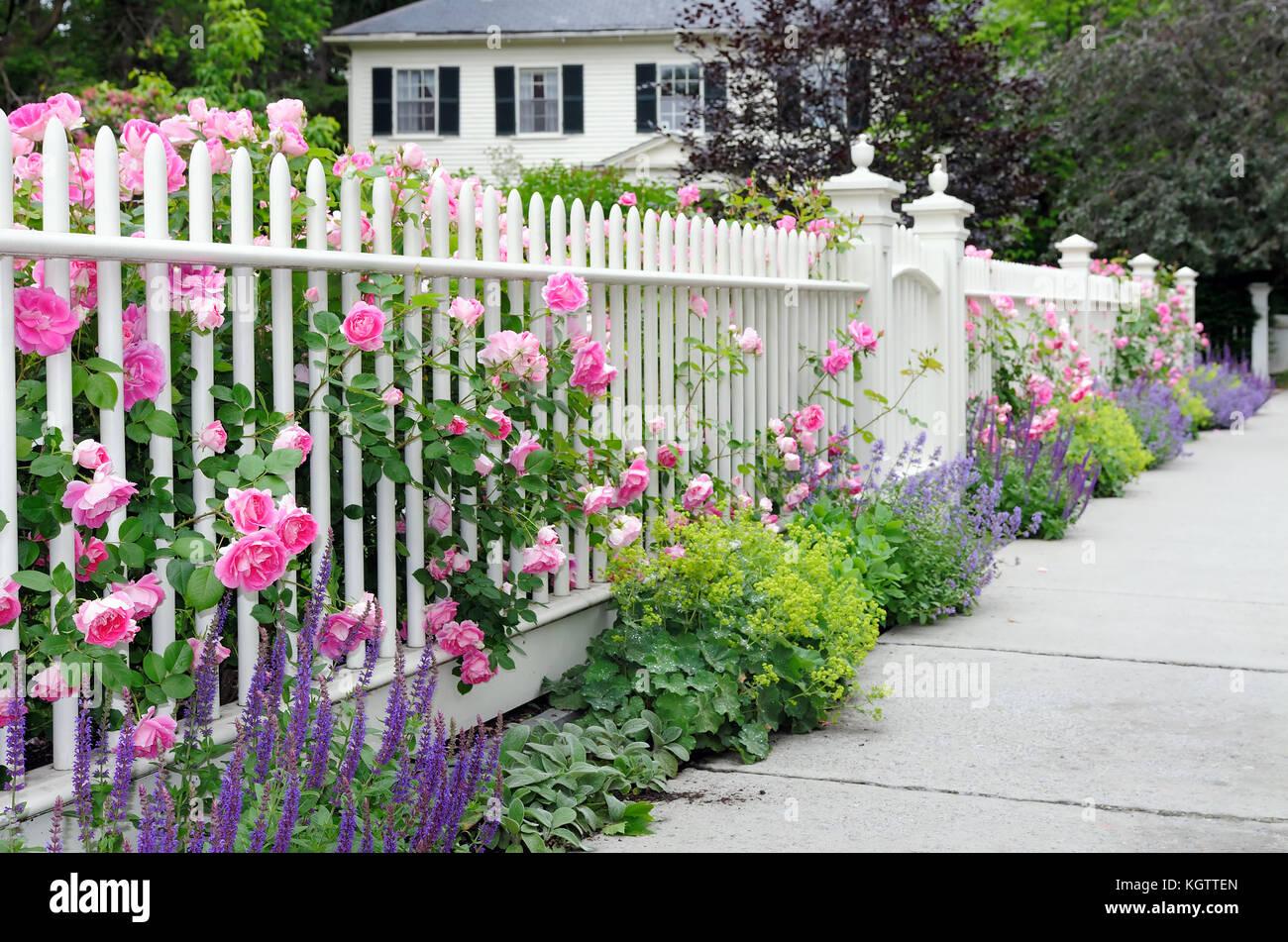 Climbing roses auf zaun und bunten garten grenze wei en for Lila und grun kombinieren