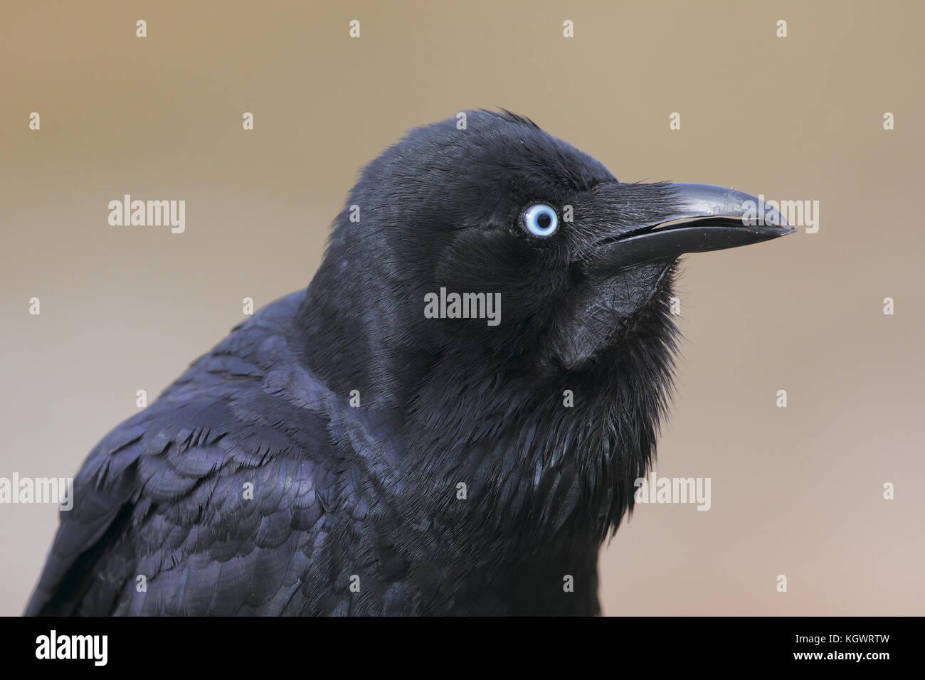 Australische raven Stockbild