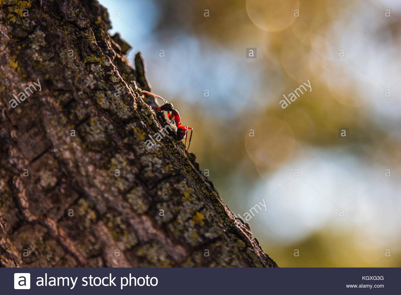 Eine einzelne Ameise krabbelt Um die Rinde eines Baumes auf der ...
