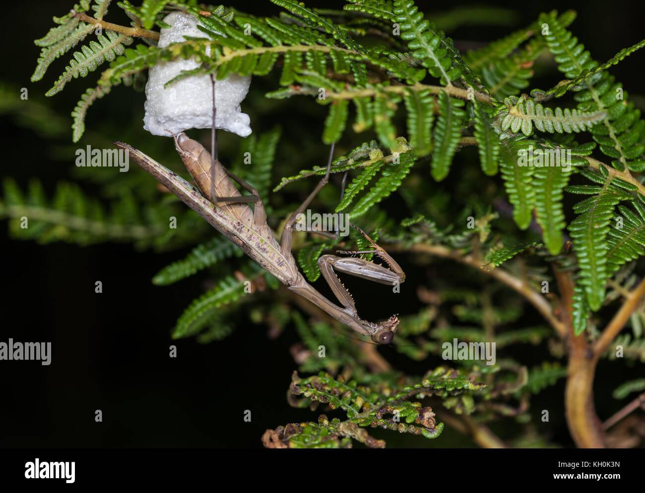 Eine Beute mantis Festlegung Ei in weißer Schaum für Schutz. Madagaskar, Afrika Stockbild