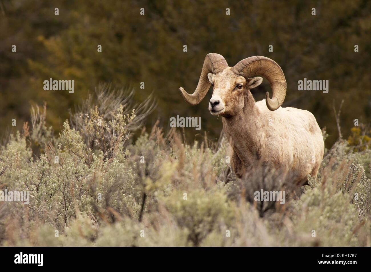 Ein bighorn Ram suchen, um sich von der Fütterung im Sagebrush. Stockbild