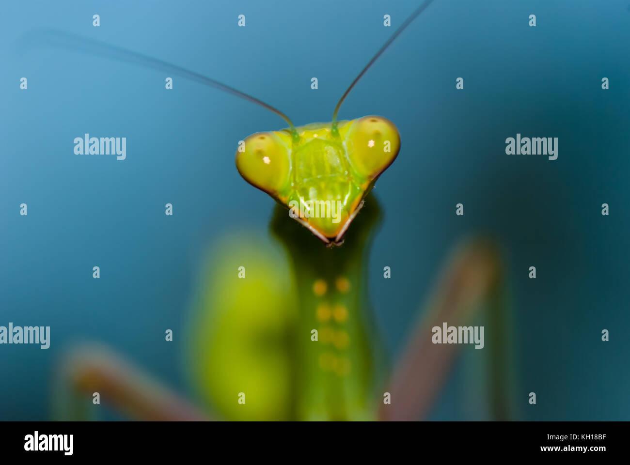 Grüne Gottesanbeterin. Stockfoto