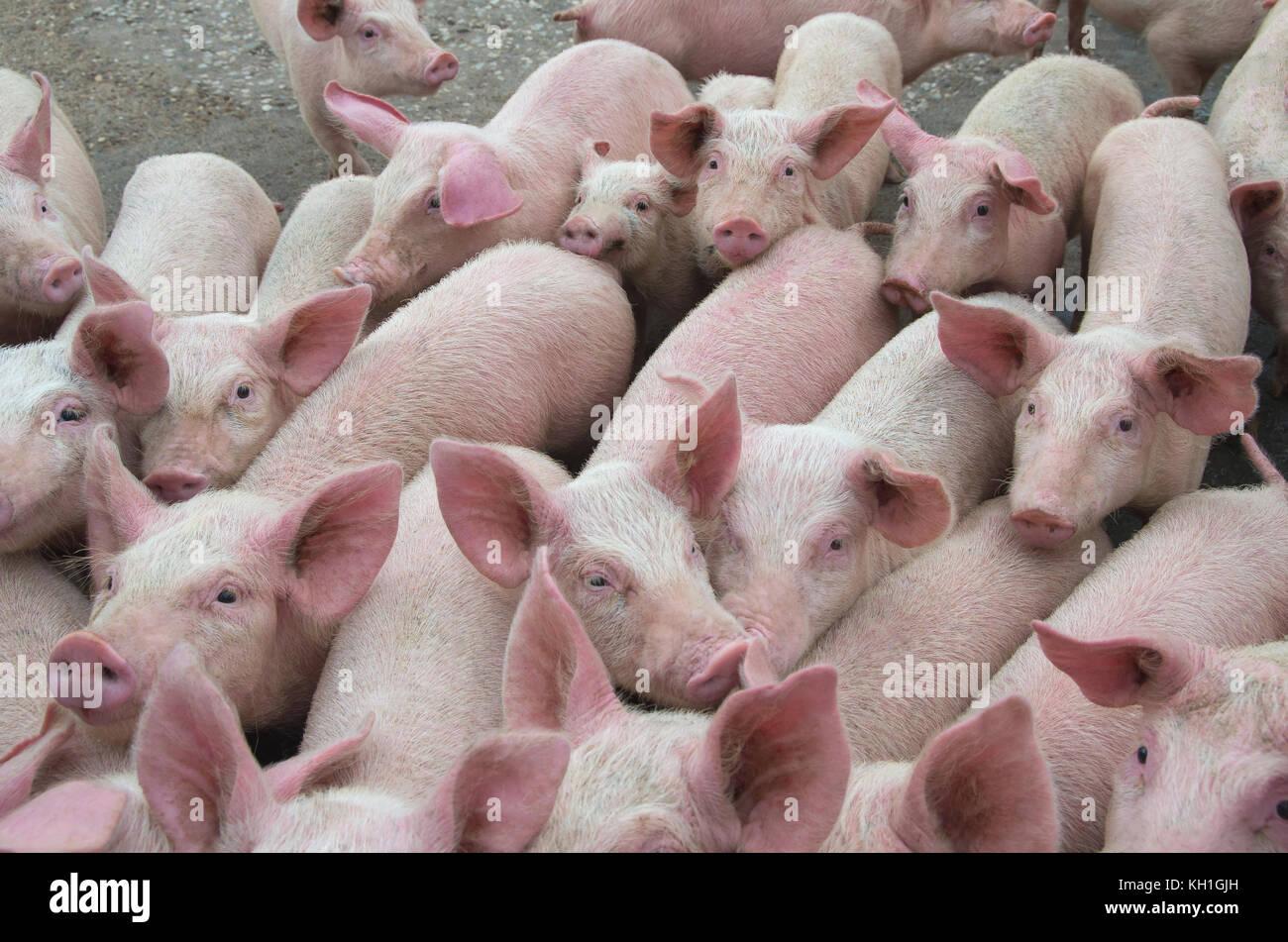 Tolle Schwein Drahtgeländer Zeitgenössisch - Der Schaltplan ...