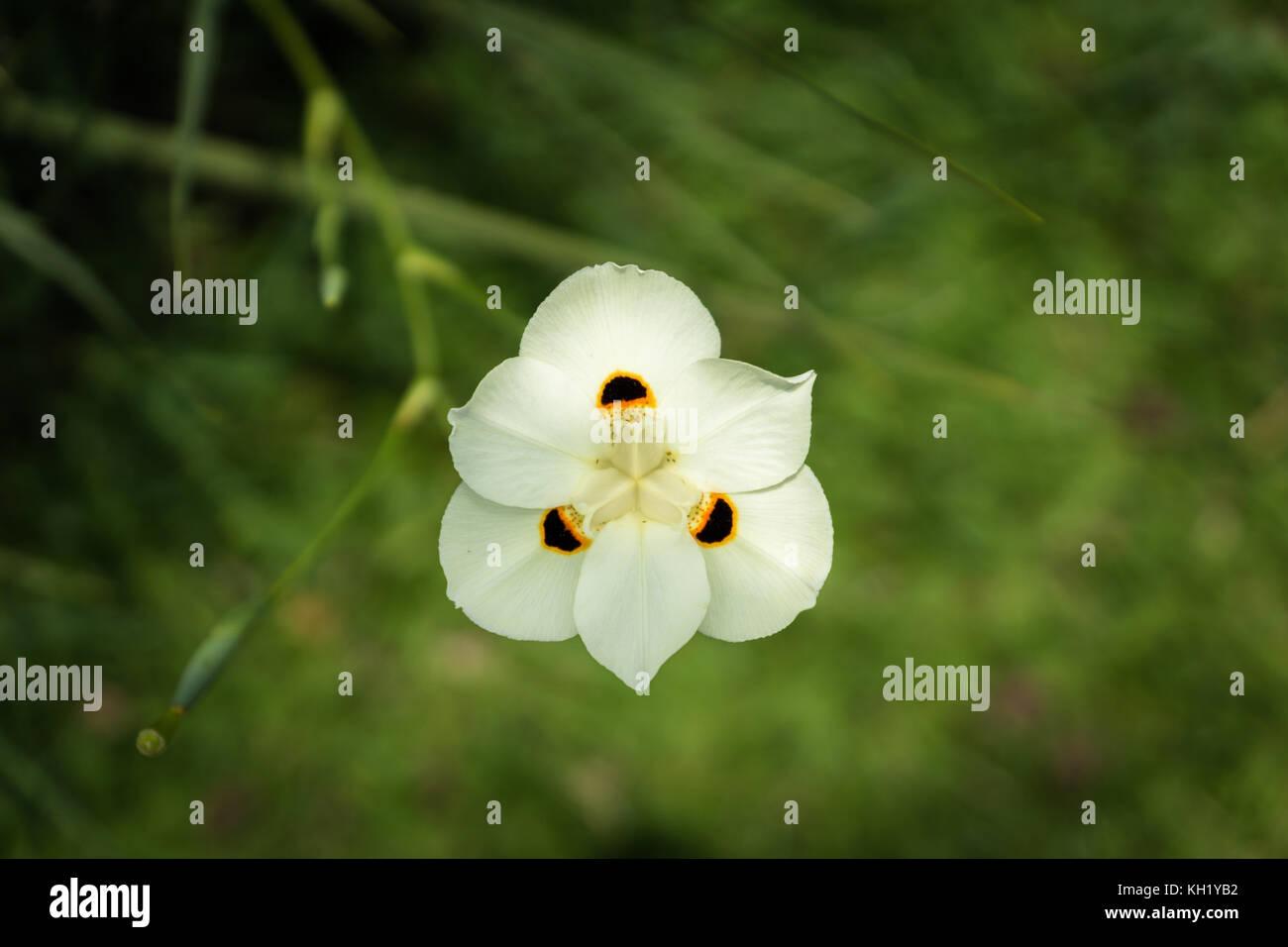 Exotische weiß wild Flower in Indonesien, tropischen Umgebung Stockbild