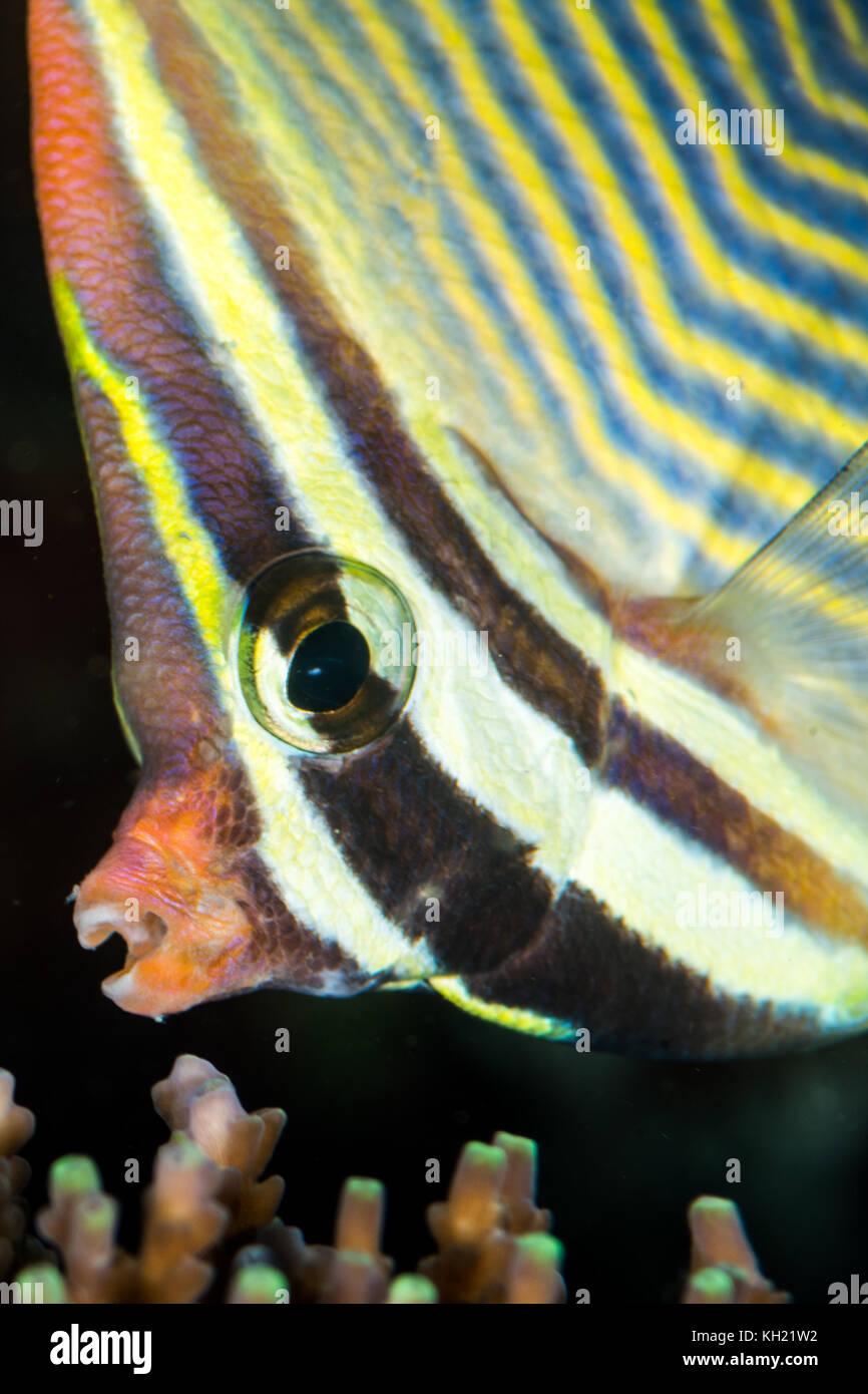Dreieckige falterfische Kopf Nahaufnahme Stockbild