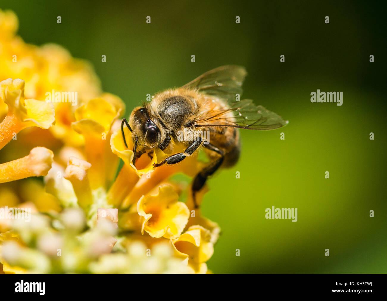 Eine Makroaufnahme eines Honey Bee Pollen sammeln von einem gelben Schmetterling Bush. Stockbild