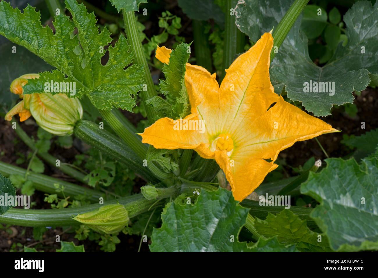 gelbe m nnliche und weibliche bl ten auf einem zucchini oder zucchini anlage mit junge frucht. Black Bedroom Furniture Sets. Home Design Ideas