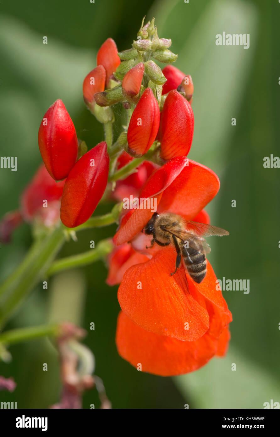 Honigbiene, Apis mellifera, Nahrungssuche auf leuchtend roten Blüten von Stangenbohnen, Berkshire, August Stockbild