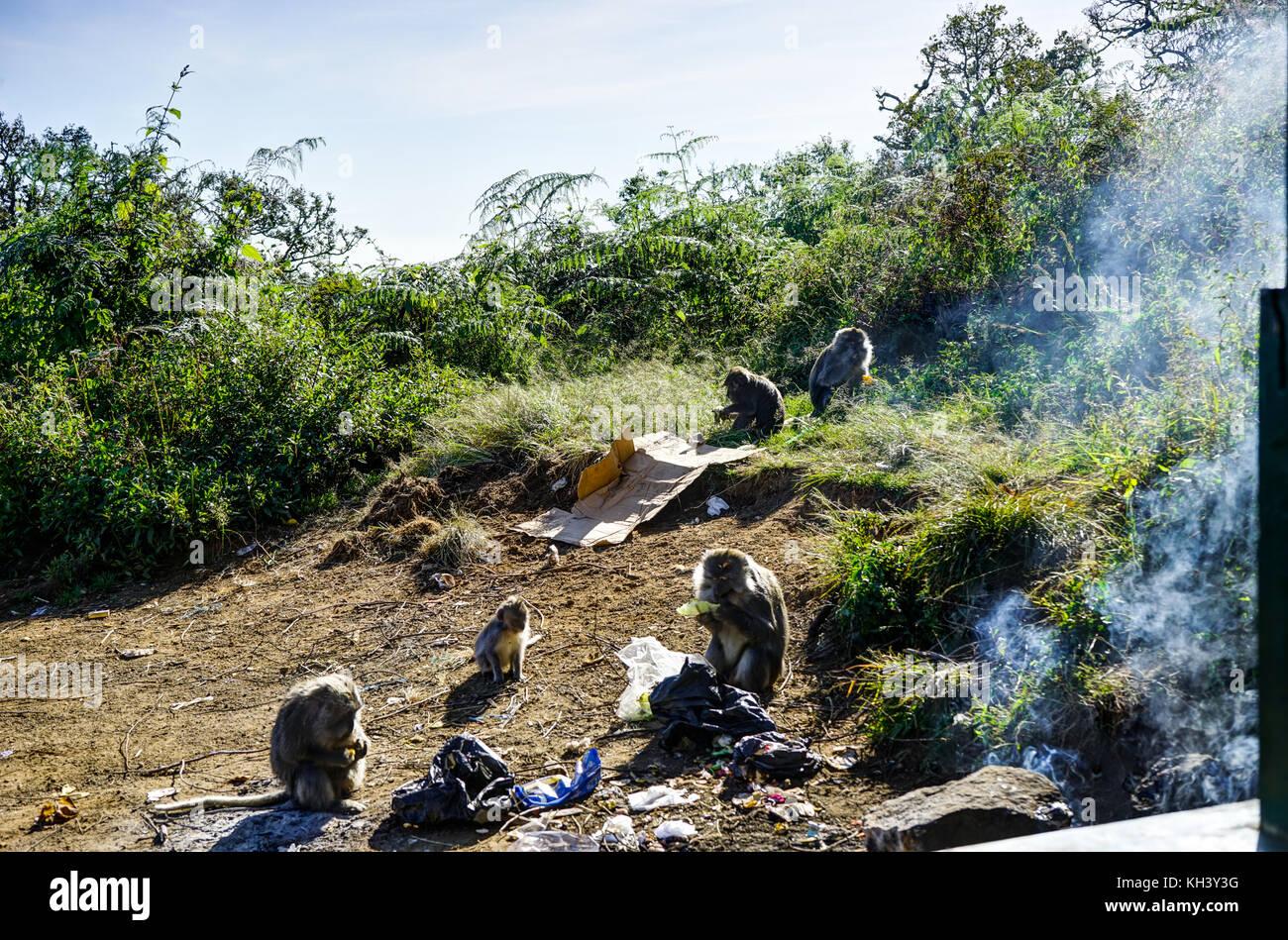 Affe essen Mount Rinjani auf Lombok Indonesien Stockfoto