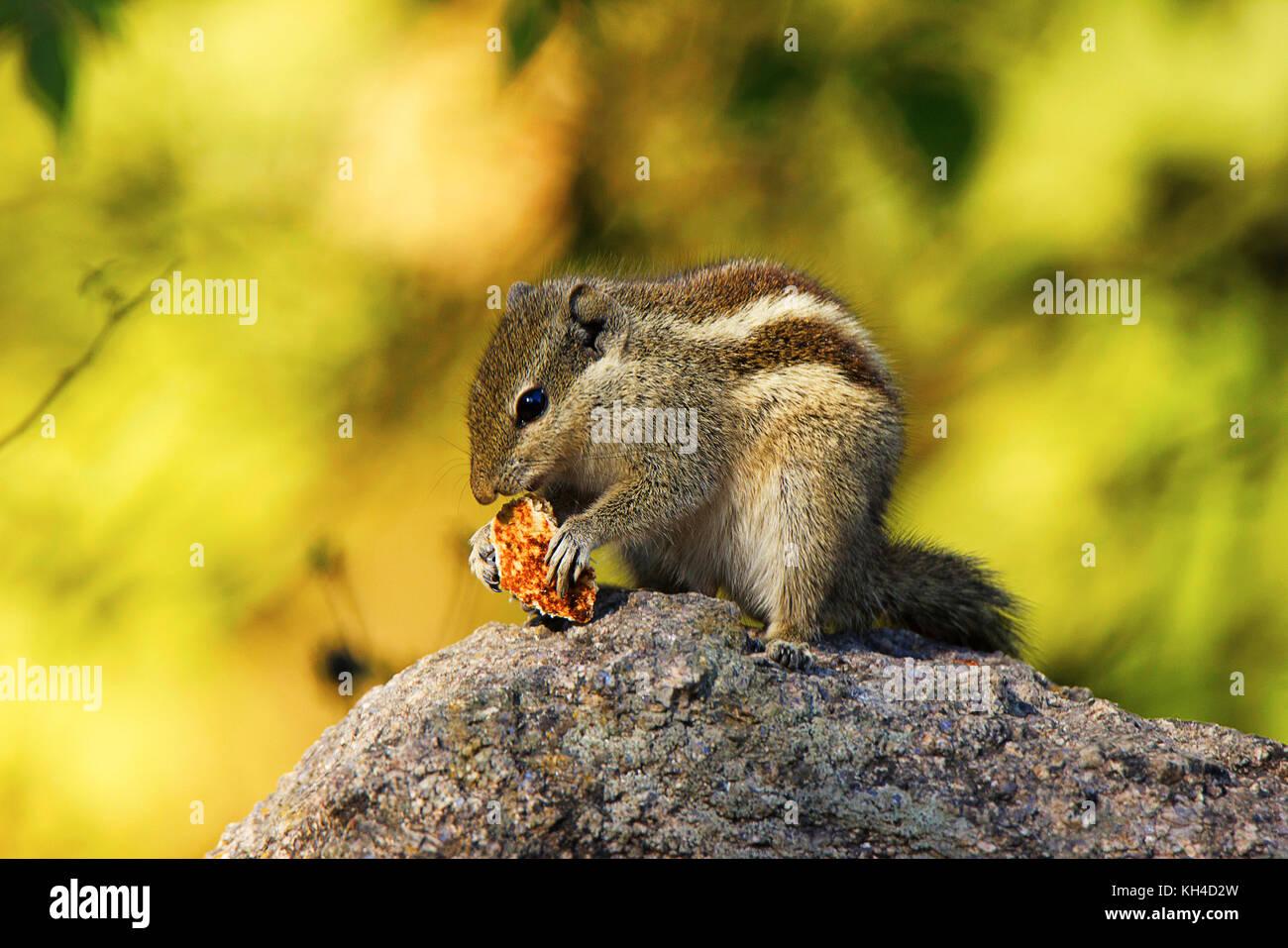 Cremige Eichhörnchen