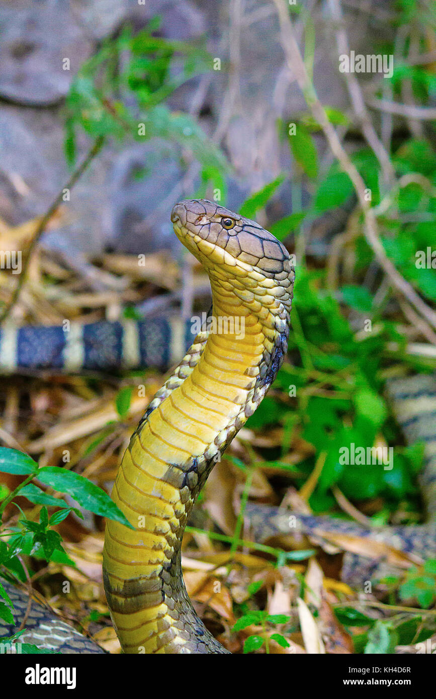black tiger snake stockfotos black tiger snake bilder alamy. Black Bedroom Furniture Sets. Home Design Ideas