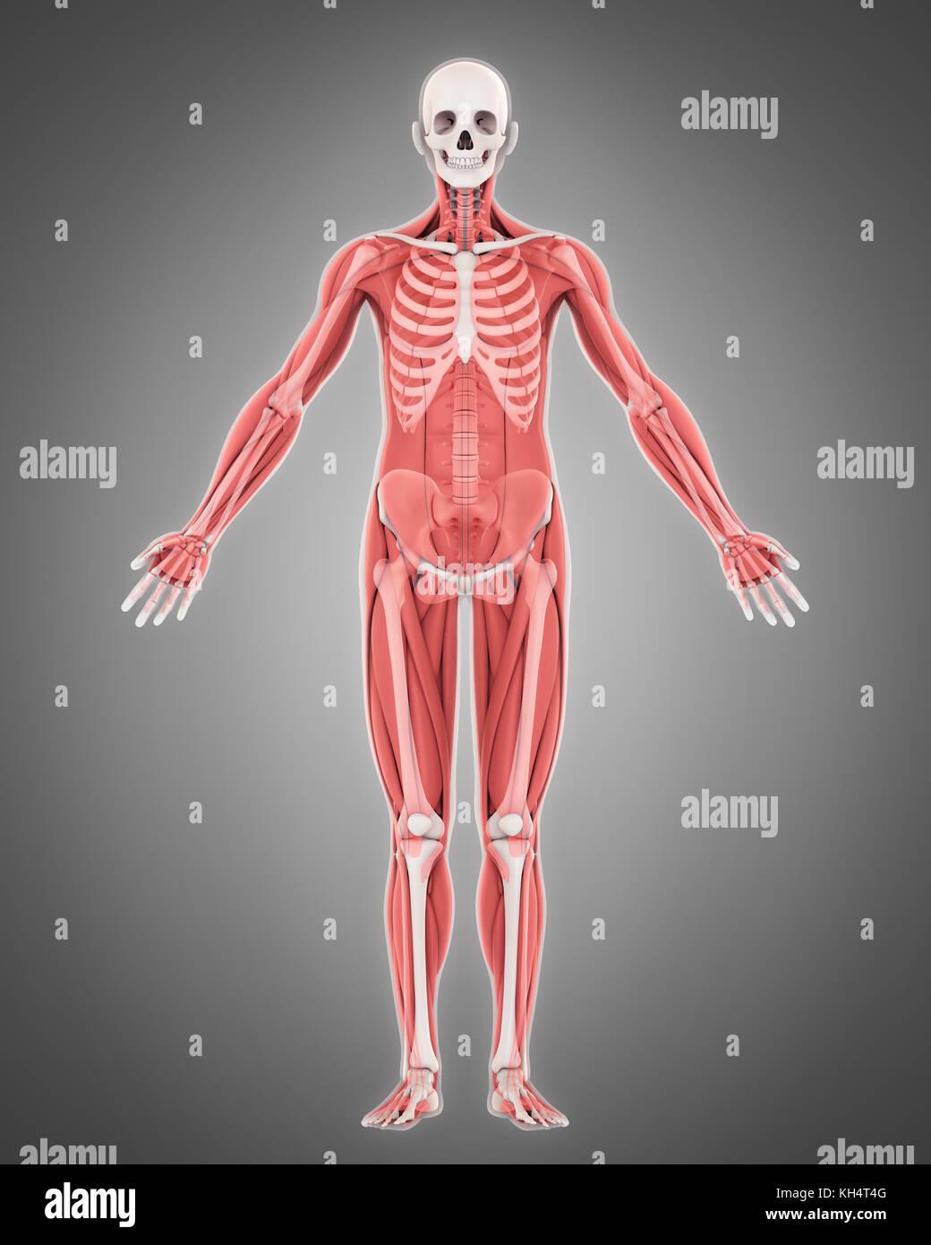 Menschliches Skelett und Muskel Anatomie Stockfoto, Bild: 165449216 ...