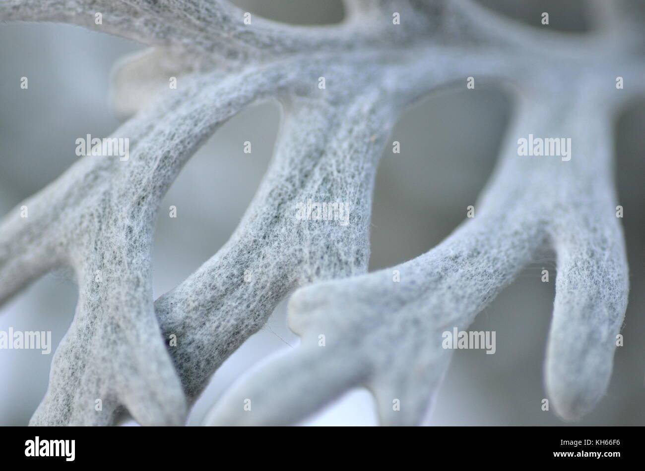 Makro Bild von Dusty Miller silber Staub Sorte (zinerarie Senecio maritima) lassen Sie close-up Stockbild