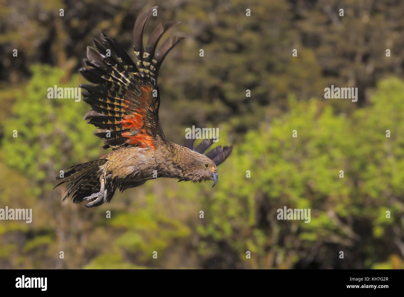 Flying kea Stockbild