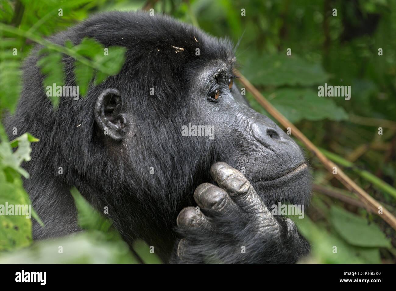 Erwachsene Frau Berggorilla (Gorilla beringei beringei) ist 1 von 2 Unterarten von Eastern gorilla Denken. Bwindi Stockbild