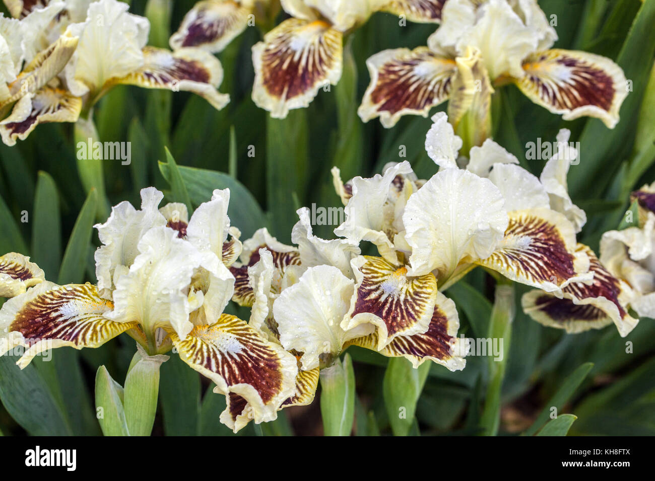 iris barbata nana dwarf iris stockfotos iris barbata nana dwarf iris bilder alamy. Black Bedroom Furniture Sets. Home Design Ideas