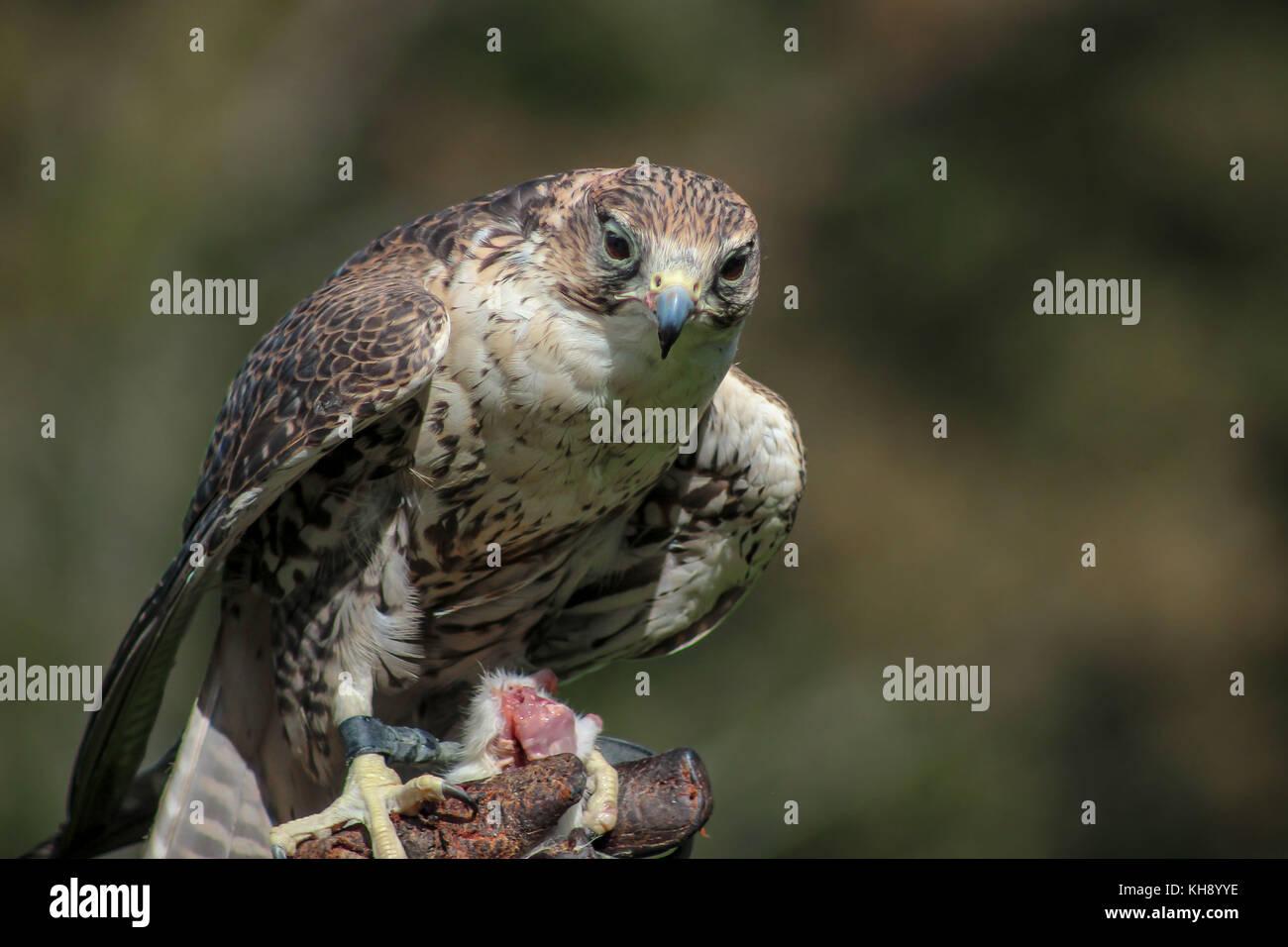Falcon - Falco, Falknerei, Vorarlberg, Österreich Stockbild